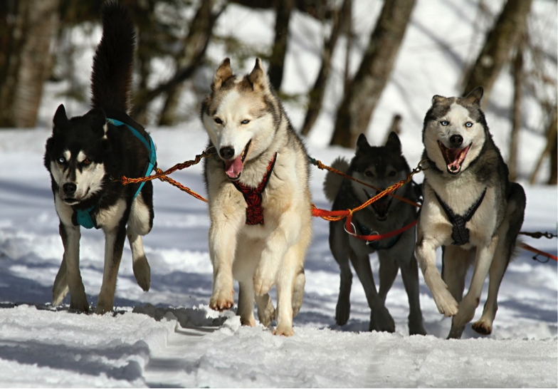 husky dogs running in snow